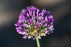 Allium aflatunense Stock Image