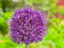 Allium aflatunense decorative onion violet flowers close-up, selective focus, shallow DOF Stock Photo