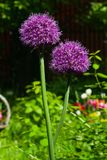 Allium aflatunense decorative onion violet flowers close-up, selective focus, shallow DOF Royalty Free Stock Photography