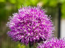Allium aflatunense decorative onion violet flowers close-up, selective focus, shallow DOF Stock Image