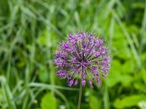Allium aflatunense decorative onion violet flowers close-up, selective focus, shallow DOF.  Stock Photography