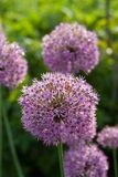 Allium aflatunense flower heads. On a rich green background Stock Images