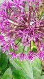Allium aflatunense purple flower stock photo