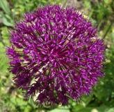 Allium aflatunense Purpur Furora Obrazy Stock