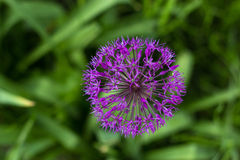 Allium aflatunense Royalty Free Stock Photo