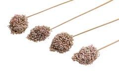 Allium - aglio decorativo secco dei fiori marroni Fotografie Stock