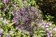 Allium Albopilosum Cristophii Royalty Free Stock Photography