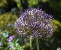 Allium Albopilosum Cristophii Stock Photography