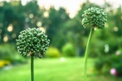 Allium all'alba nel giardino, fine su Fotografie Stock Libere da Diritti
