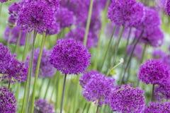 Allium (allium Giganteum) Fotografia Stock