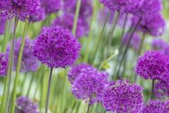Allium (allium Giganteum) Fotografia Stock Libera da Diritti