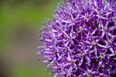 Allium (Allium Giganteum) blooming in the garden Royalty Free Stock Photos