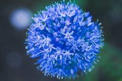 Allium (Allium Giganteum) blooming in the garden Stock Image