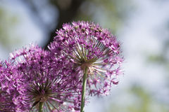 Allium (Allium Giganteum) in full flower growing in the garden Stock Image