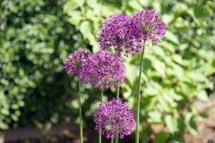 Allium (Allium Giganteum) in full flower growing in the garden Royalty Free Stock Photos