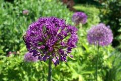 Allium Allium ornamentale Fotografia Stock