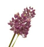 Allium ampeloprasum Immagine Stock
