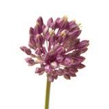 Allium ampeloprasum Fotografia Stock Libera da Diritti