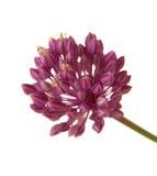 Allium ampeloprasum Fotografia Stock