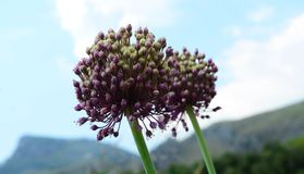 Allium ampeloprasum Stock Images