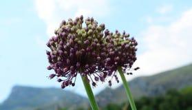 Allium ampeloprasum. A pair of allium ampeloprasum (wild leeks Stock Images