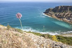 Wild leek growing at Espichel Cape Cliffs, Sesimbra, Portugal Royalty Free Stock Photography