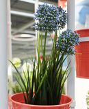 Allium artificiale blu Giganteum in vasi del metallo Immagine Stock