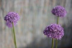 Allium au printemps Image libre de droits