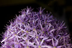 Allium background. Purple flowers texture. Summer. Stock Image