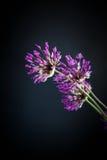 Allium Stock Image