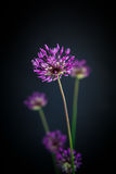 Allium Royalty Free Stock Photos