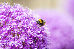 Allium with Bee. Close-Up Macro of Yellow and Black Bumble Bee on Allium Flower Stock Image