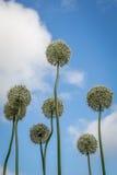 Allium bianchi in Cornovaglia Inghilterra Regno Unito Fotografia Stock Libera da Diritti