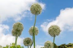 Allium bianchi in Cornovaglia Inghilterra Regno Unito Fotografia Stock