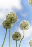 Allium bianchi in Cornovaglia Inghilterra Regno Unito Immagine Stock Libera da Diritti