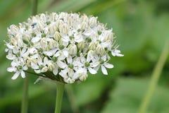 Allium bianco Immagine Stock