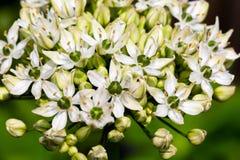 Allium bianco su un fondo verde Fotografia Stock Libera da Diritti