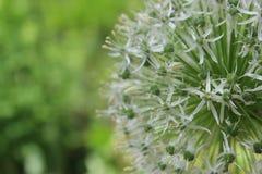 Allium blommar i Chicago royaltyfria bilder