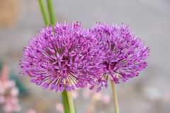 Allium in bloom in the garden Royalty Free Stock Photos