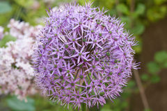 Allium in bloom in spring Stock Photography