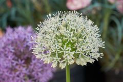 Allium in bloom in spring Royalty Free Stock Images