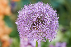 Allium in bloom in spring Royalty Free Stock Photo