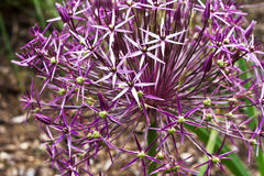 Allium Stock Images