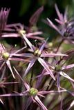 Allium in blossom. Close-up big allium flower in blossom summer time Stock Photo