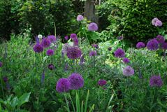 Allium blossom in a garden of wilderness Royalty Free Stock Image