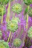 Allium blossum Stock Image