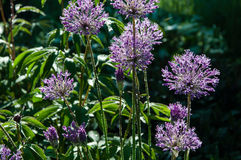Allium brillante Immagine Stock