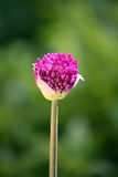 Allium bud Royalty Free Stock Photos