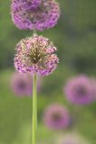 Allium Bulbs Royalty Free Stock Photos