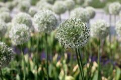 Allium Bulbs Mount Everest Stock Photo